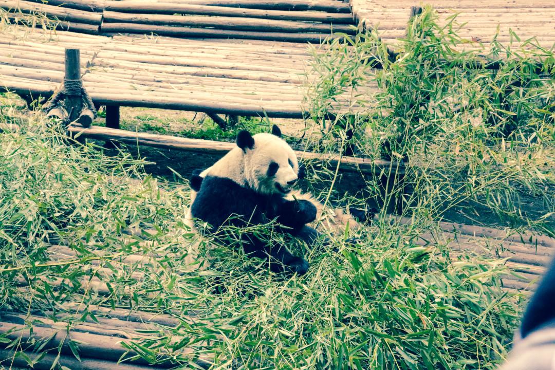 Research Base of Giant Panda Breeding - Chengdu, China
