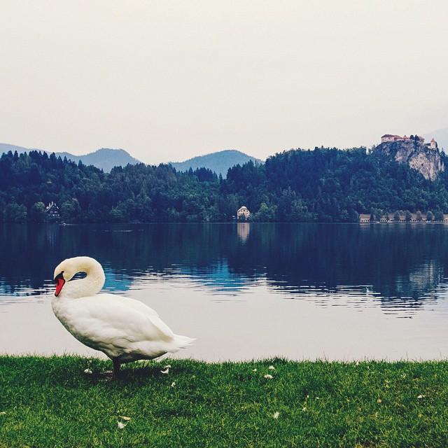 Swan Lake ? aka Lake Bled, Slovenia. #fairytales #castles #swanlake #swans #europe #slovenia #travel #animals