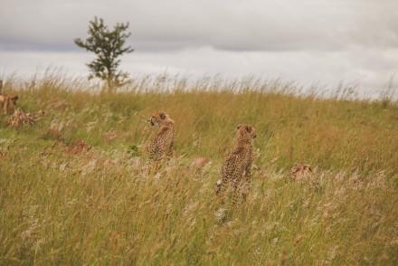 LW-Cheetahs-07